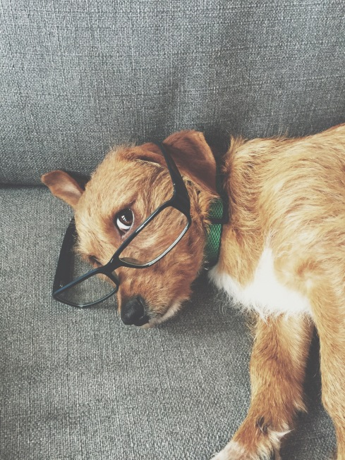 Dogs wearing glasses. Bennington the rescue dog. (@BenningtonTheGreat on Insta) #natepk