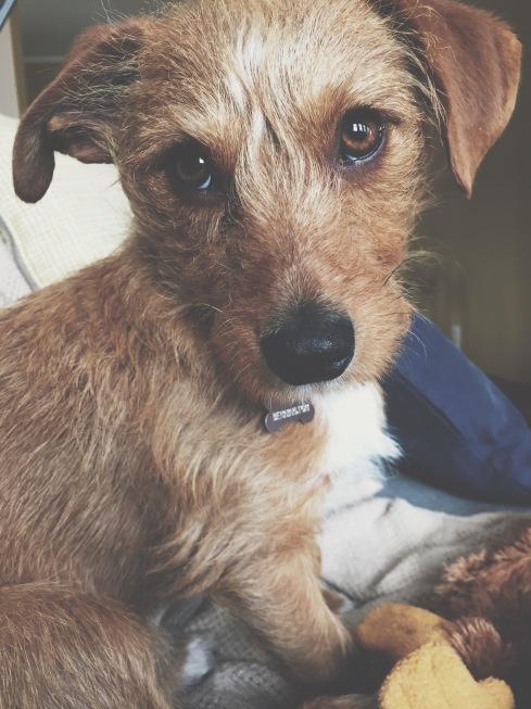 Bennington, our rescue dog.